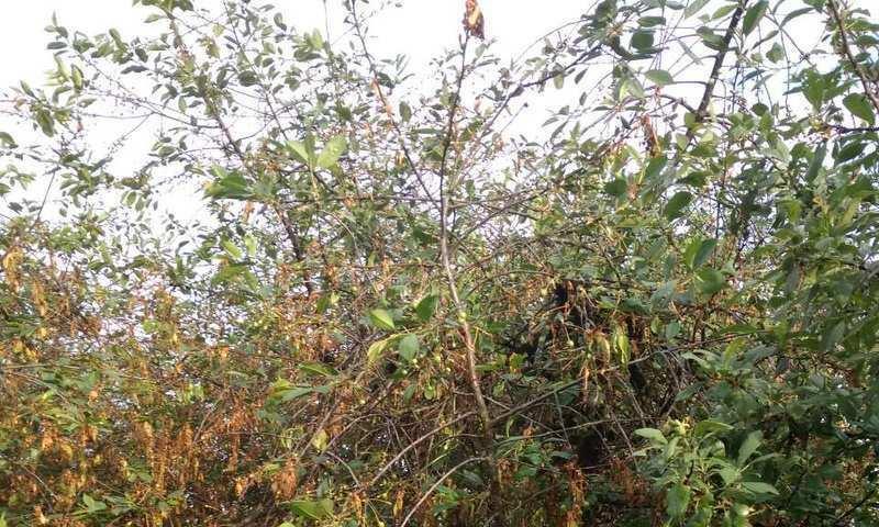 Фото монилиоза у вишни