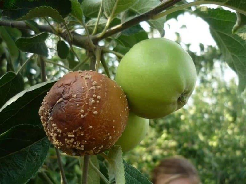 Фото монилиоза яблок