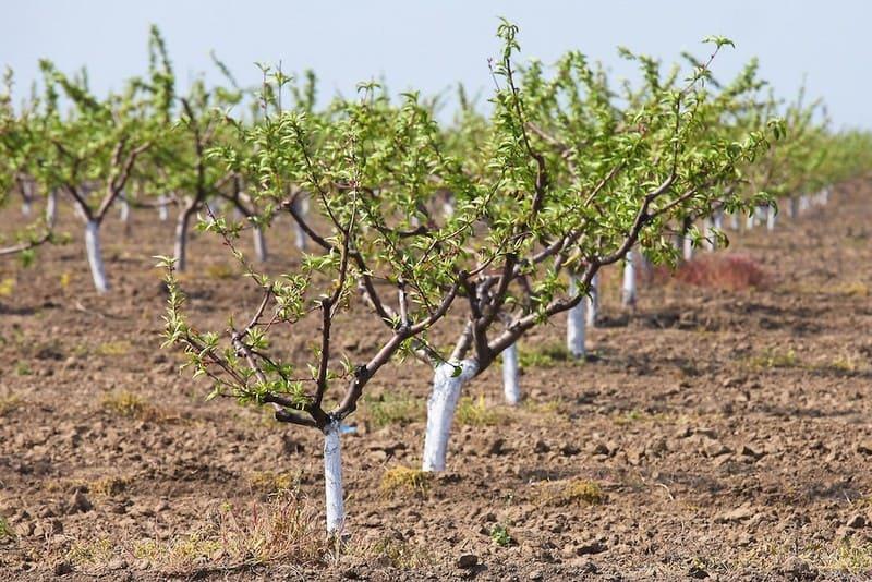 Фото побеленных молодых деревьев
