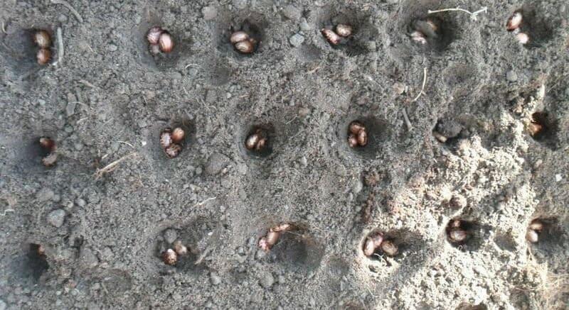 Фото посева семян клещевины
