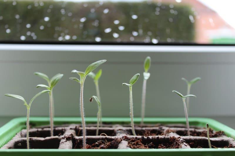 Фото ростков томата