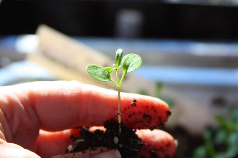 Фото ростка ибериса