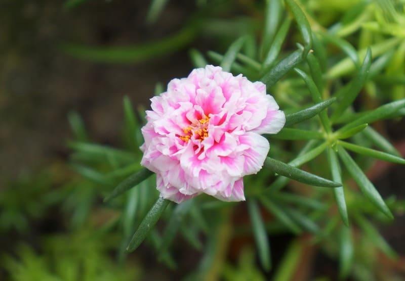 Фото розового портулака