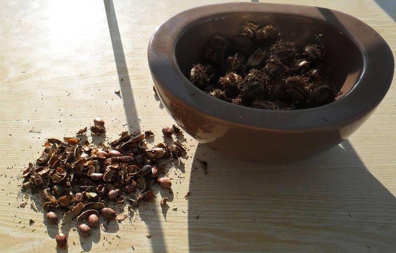 Фото семян клещевины