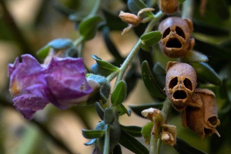 Фото семян львиного зева на растении