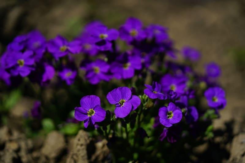 Фото синей обриеты