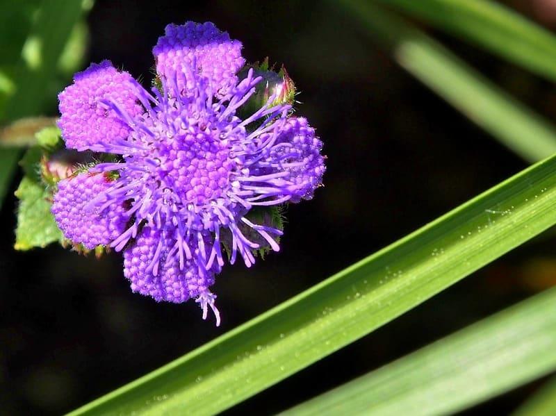 Фото цветка агератума