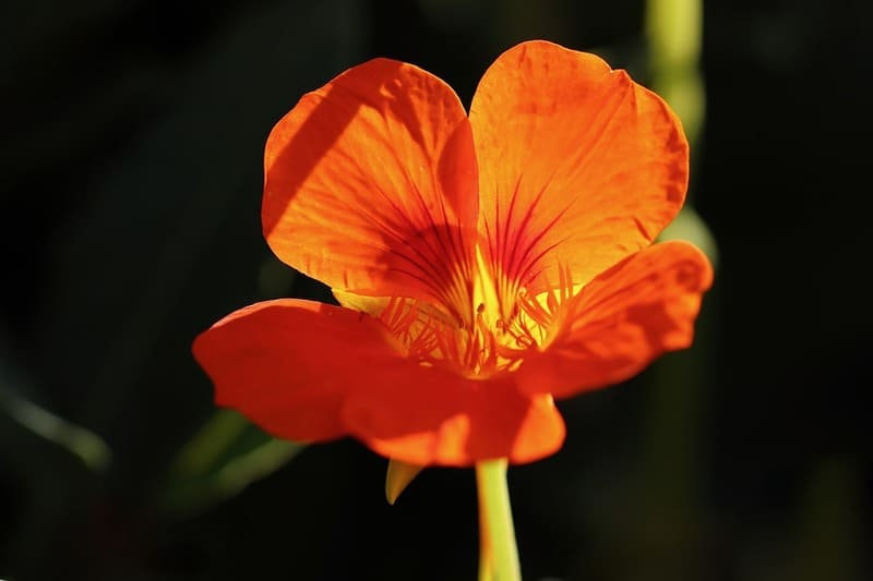 Фото цветка настурции