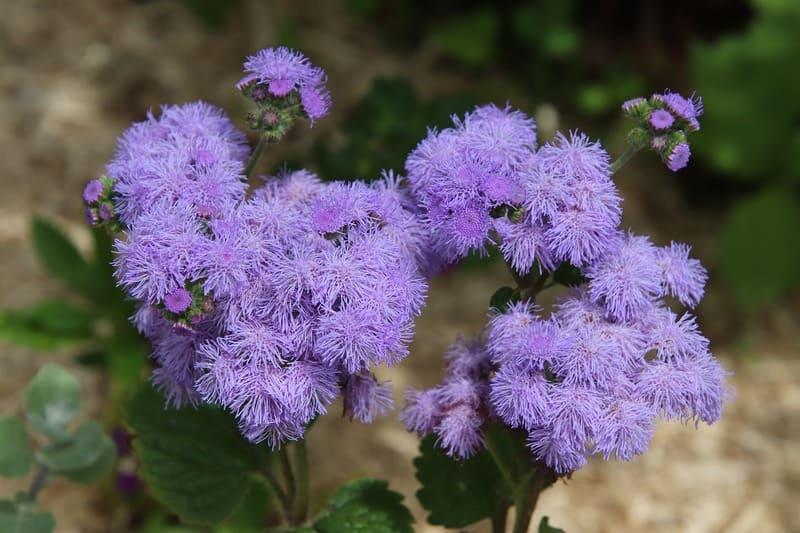 Фото цветов агератума