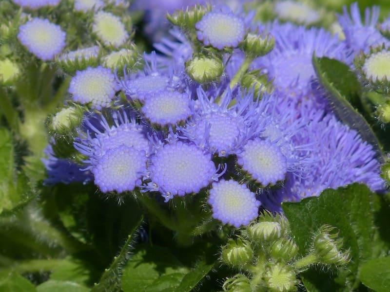 Фото цветов хьюстона
