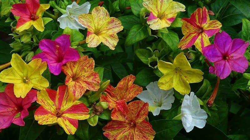 Фото цветов мирабилиса