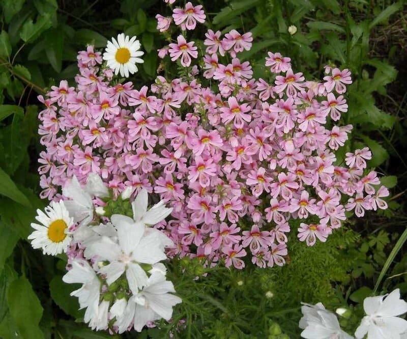 Фото цветов схизантуса