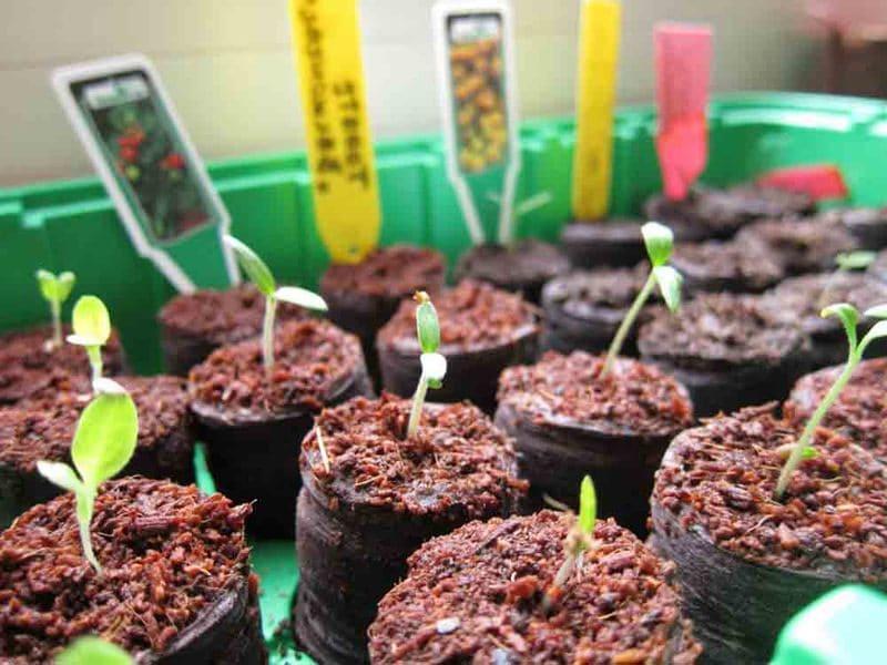 Фото выращивания в торфяных таблетках