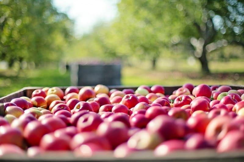 Фото урожая яблок