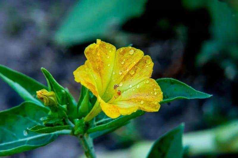 Фото цветка мирабилиса