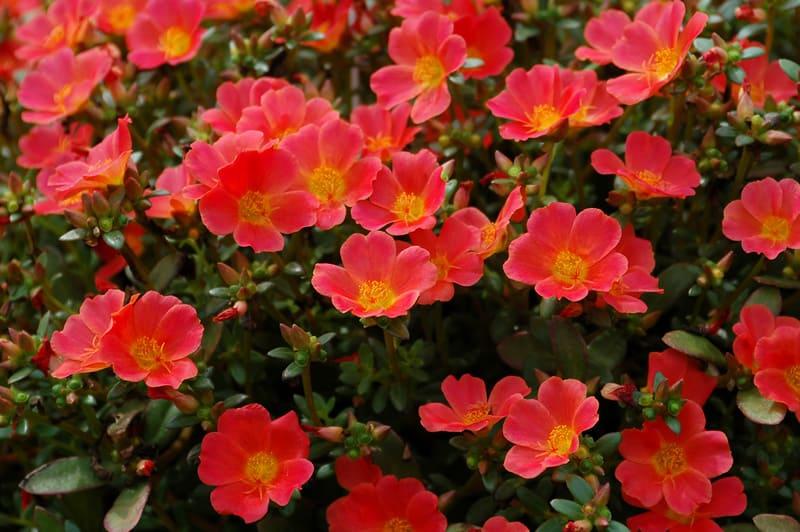 Фото цветов портулака