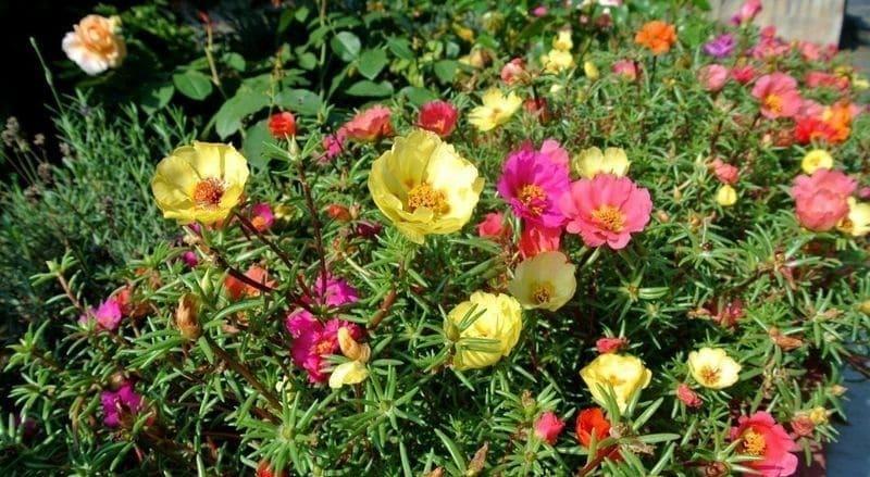 Фото крупноцветкового портулака
