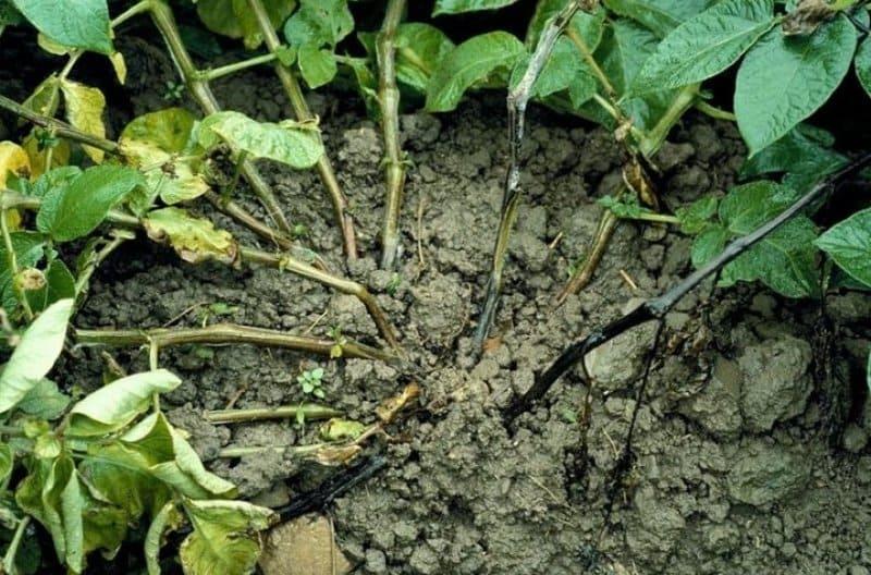 Фото черной ножки картофеля