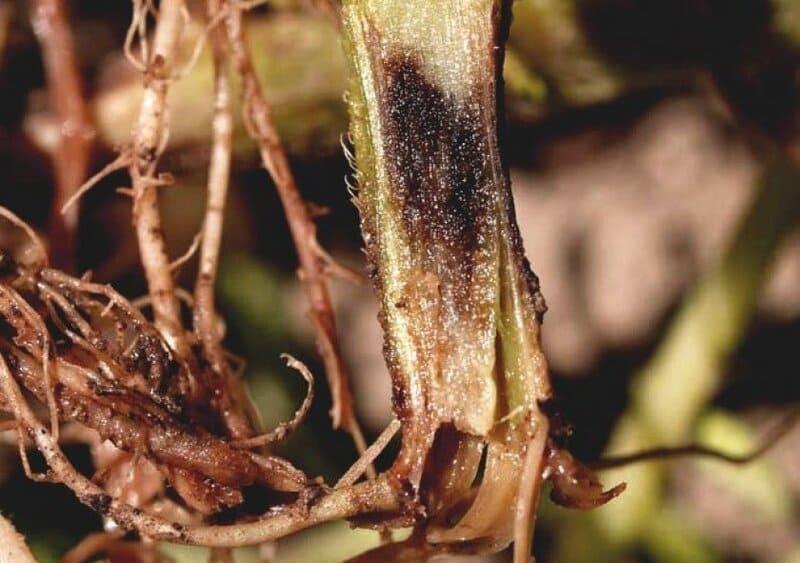 Фото черной ножки перца