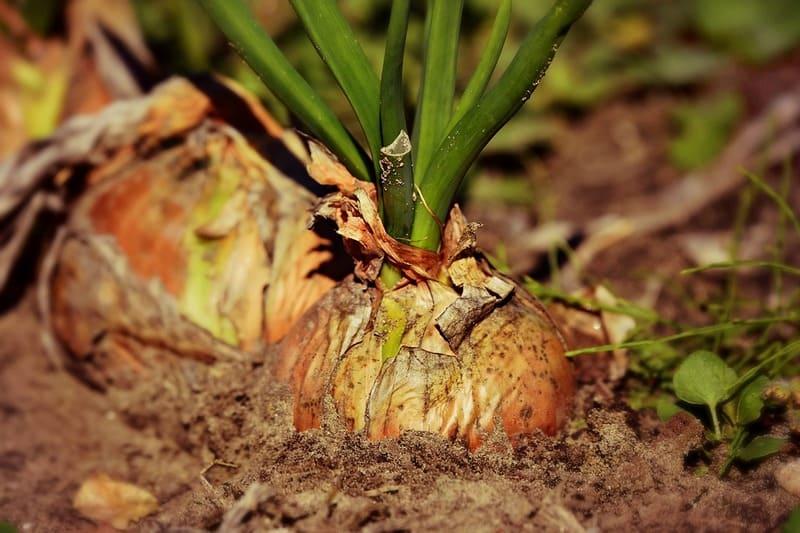 Фото луковицы в земле