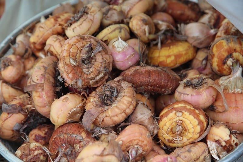 Фото луковиц гладиолуса