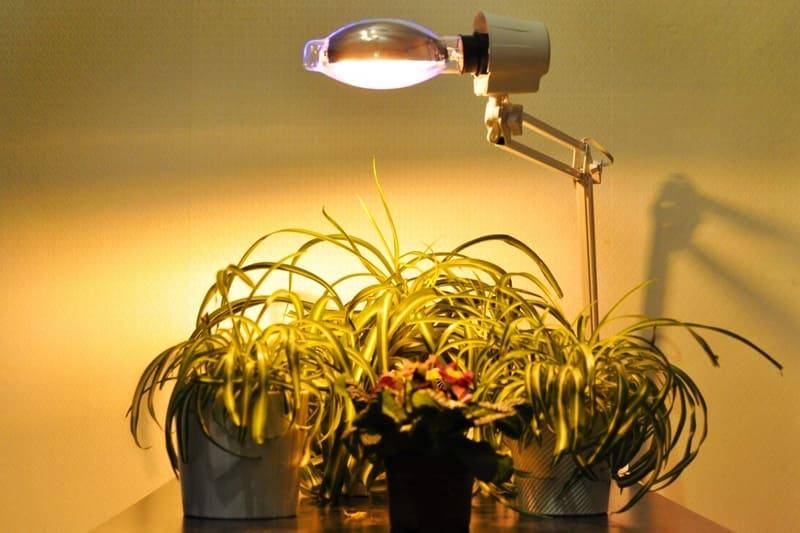 Фото подсветки хлорофитума