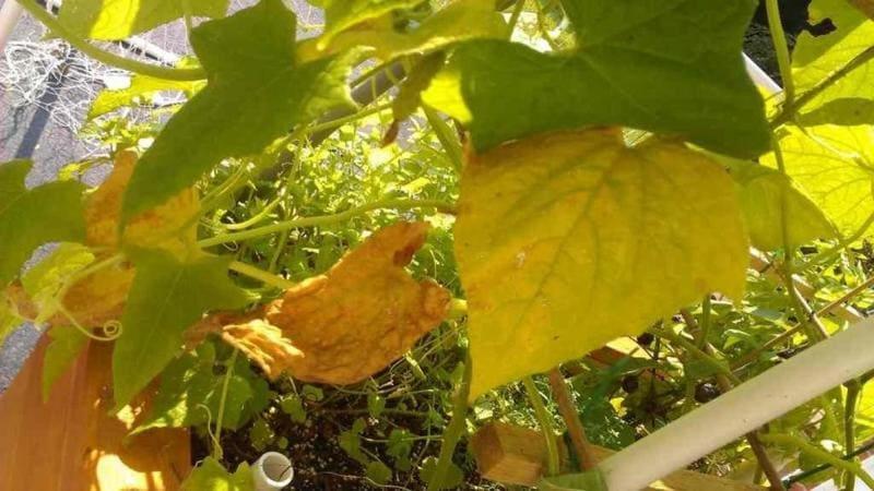 Фото пожелтения листьев