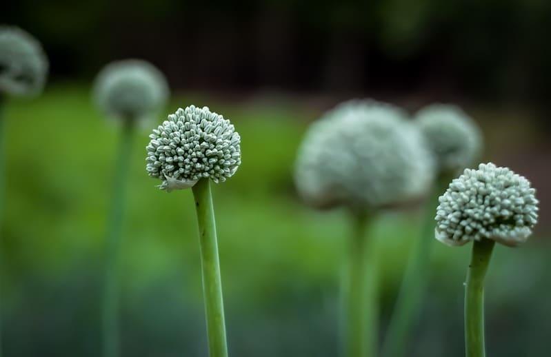 Фото лукового соцветия