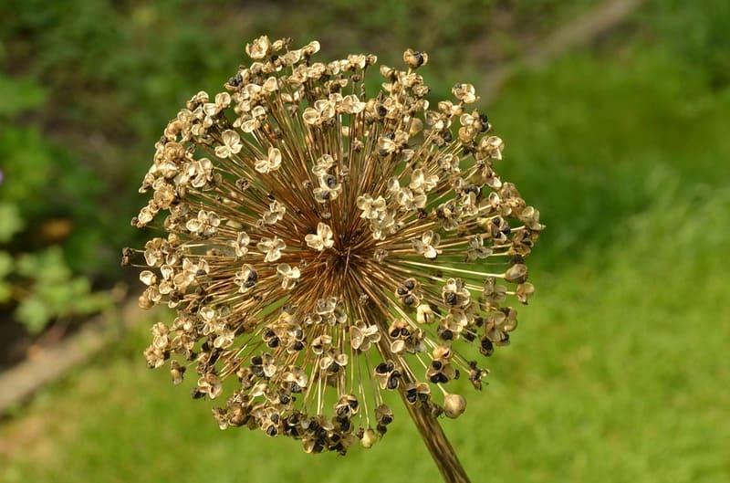 Фото сухого соцветия лука
