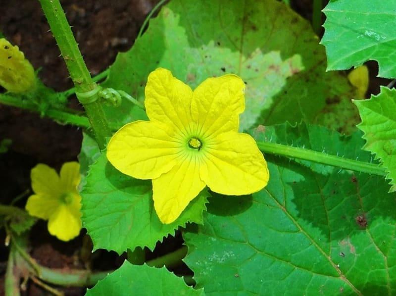 Фото цветка огурца