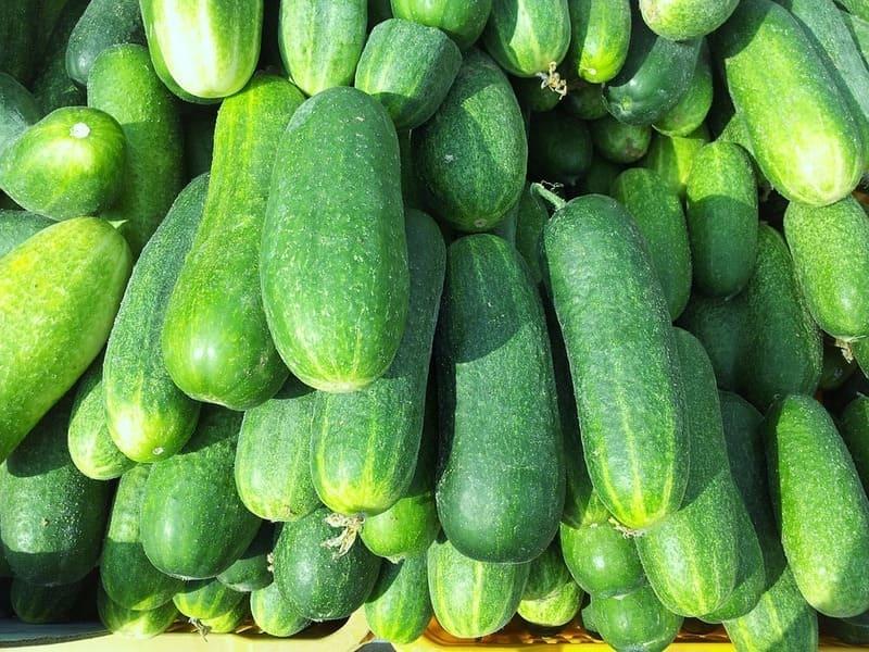 Фото урожая огурцов