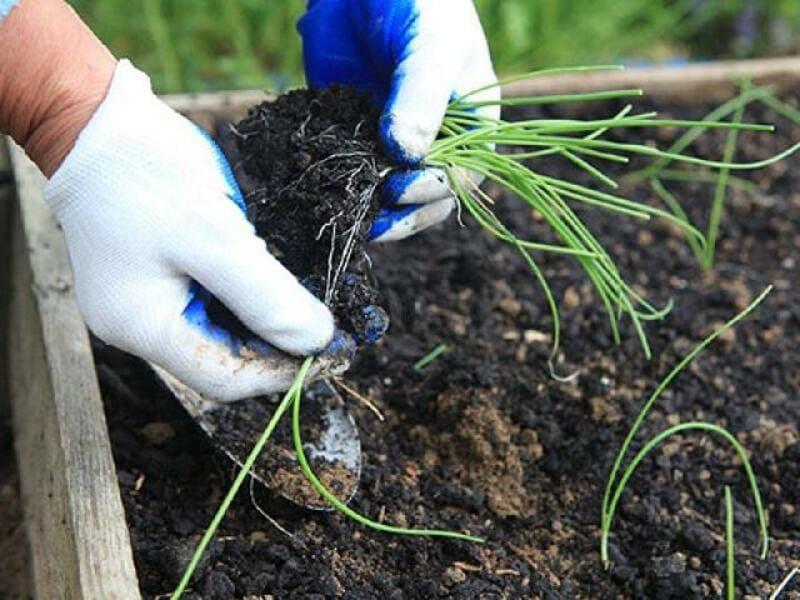 Фото высадки рассады чернушки