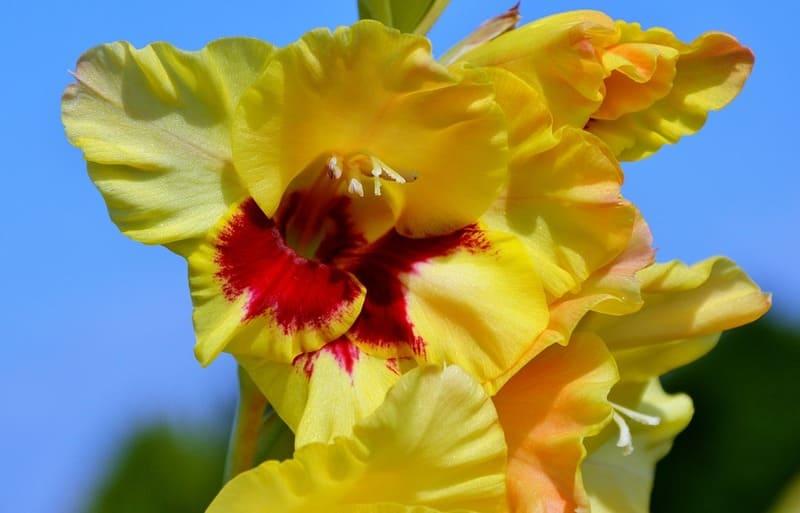 Фото желтого гладиолуса