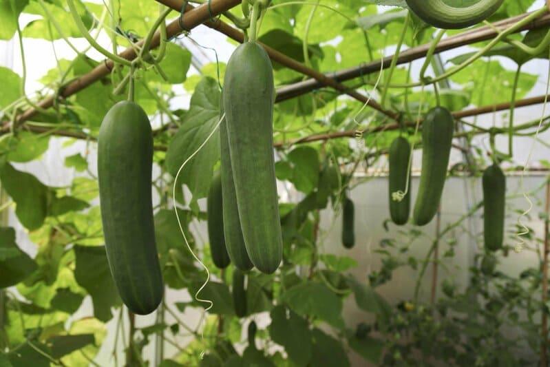 Фото зеленцов в теплице