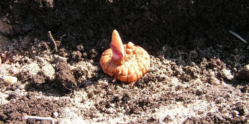 Фото посадки гладиолусов
