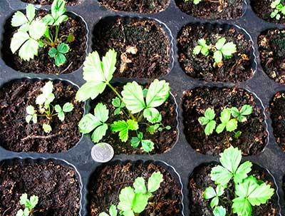 Клубника-семенами-фото