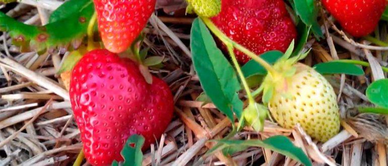 Сорт-земляники-садовой-альба-фото