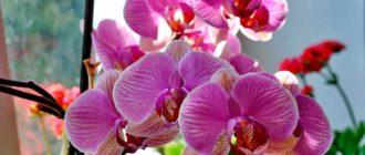 Phalaenopsis-foto