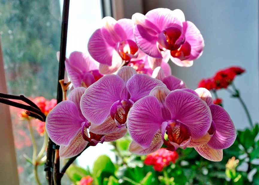 Уход за орхидеей фаленопсис в домашних условиях после магазина
