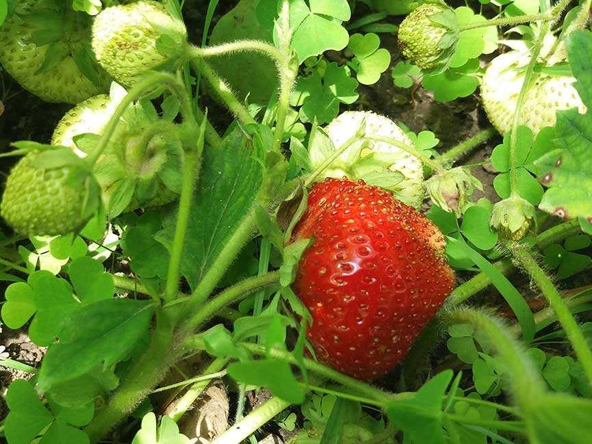 Клубника гигантелла — правила выращивания и описание сорта