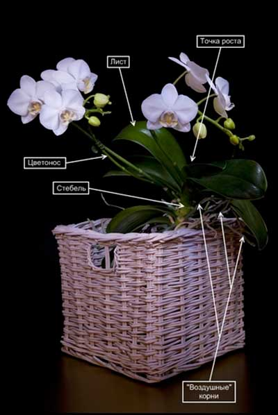Строение-орхидеи-фото