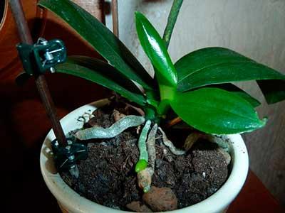 детка-орхидеи-фаленопсис-фото