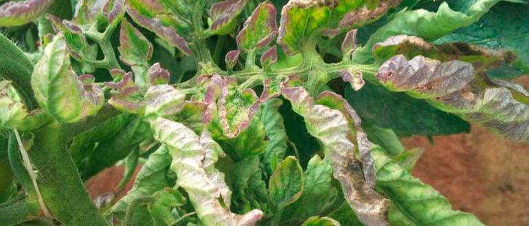 фитофтора-на-листьях-помидор-фото