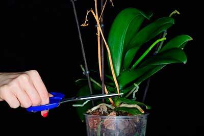 обрезка-цветоносов-орхидеи-фото