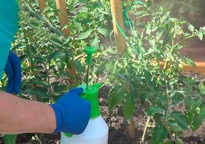 опрыскивание-помидор-от-фитофтороза-фото