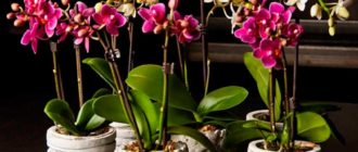 орхидеи-фаленопсис-фото