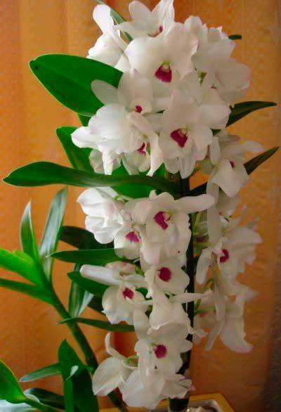орхидея-дендробиум-фото