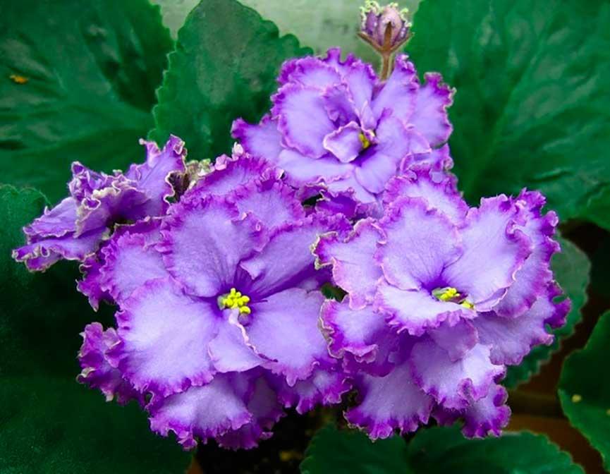 Как-расцветает-фиалка-голубой-дракон-фото