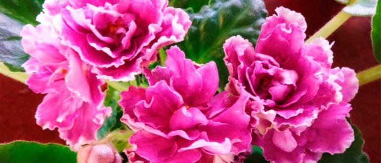 Как-разпускается-сорт-фиалки-ледяная-роза-летом-фото
