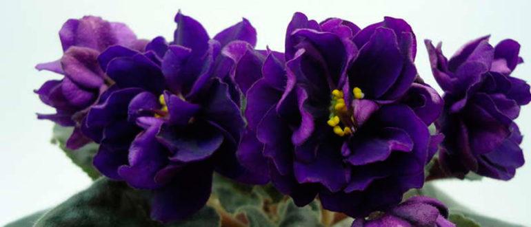 Как-цветет-фиалка-черная-жемчужина-фото